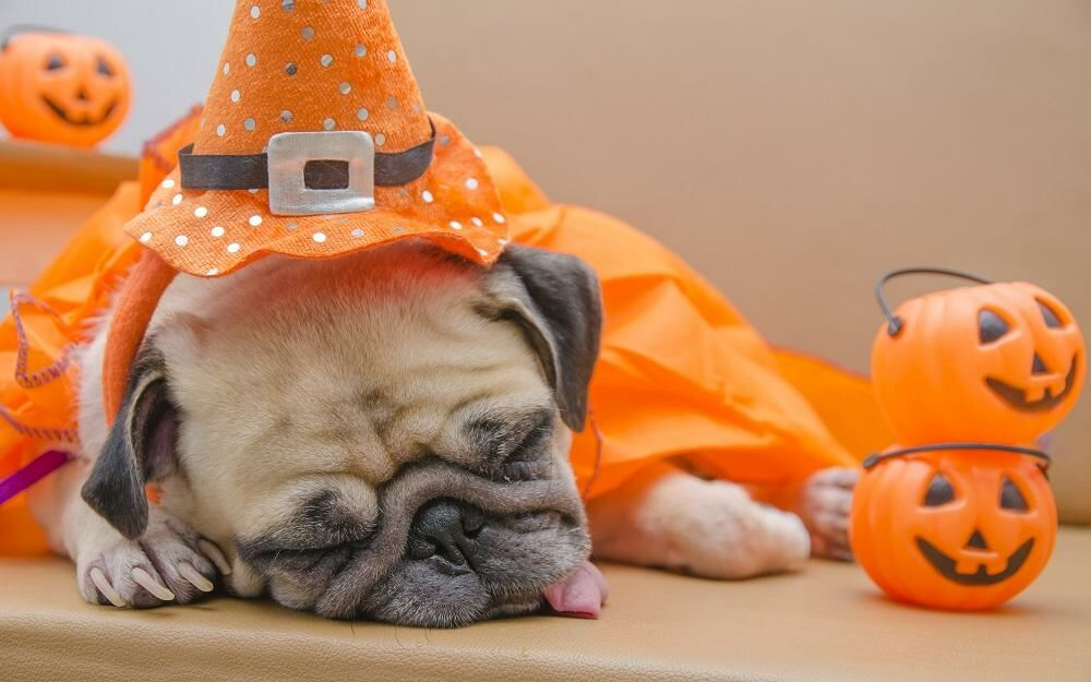 Dog Sleeping on Halloween